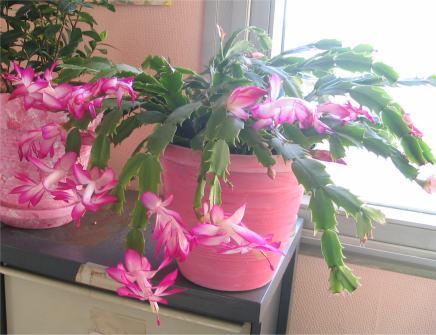 Sclhumbergeria ou cactus de noel for Plante noel rouge
