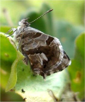 cacyreus marshalli ou papillon du geranium. Black Bedroom Furniture Sets. Home Design Ideas